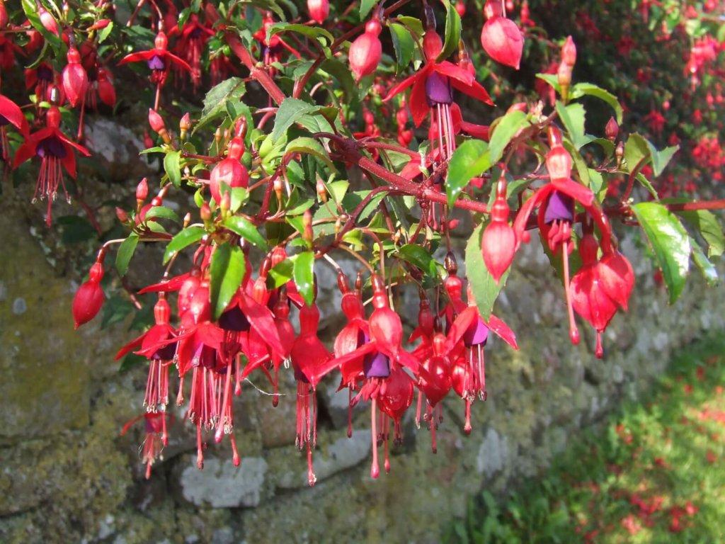 Fuschia Wildflower