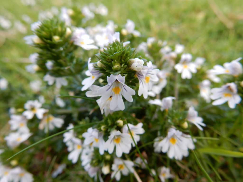 Eyebright Wildflower