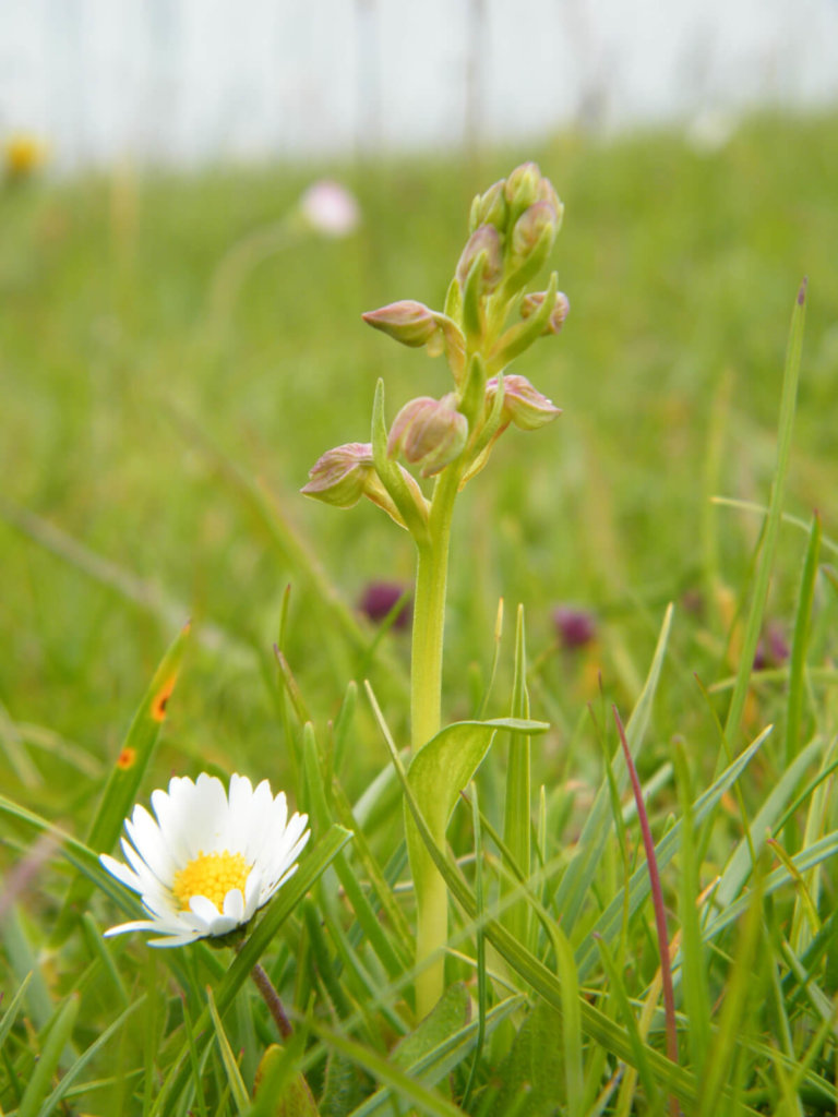 Frog Orchid with Daisy Wildflower