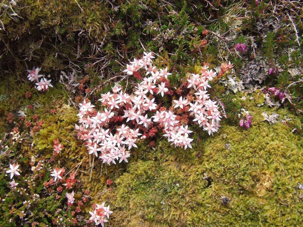 English Stonecrop Wildflower
