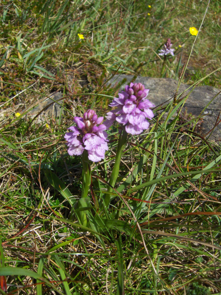 Heath Spotted Orchid Wildflower