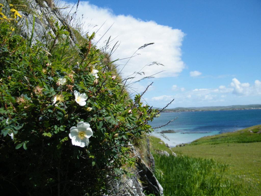 Burnet Rose Wildflower