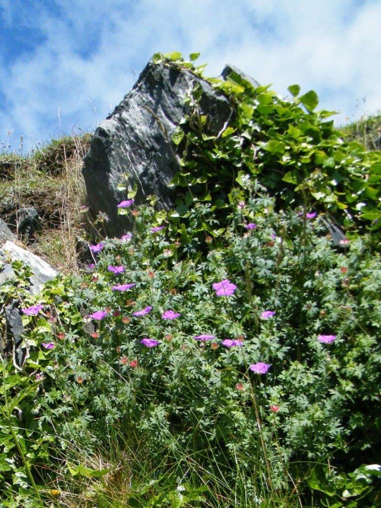 Bloody Cranesbill Wildflower