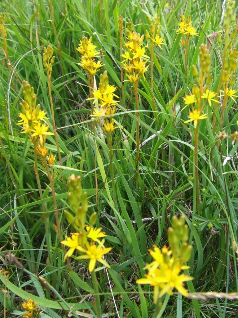 Bog Asphodel Wildflower