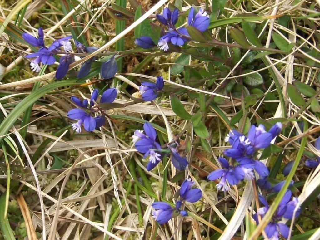 Milkwort Wildflower