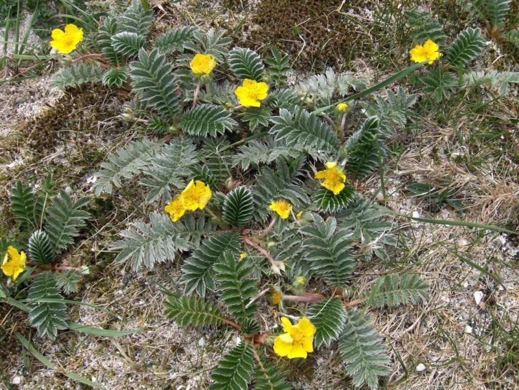 Silverweed Wildflower