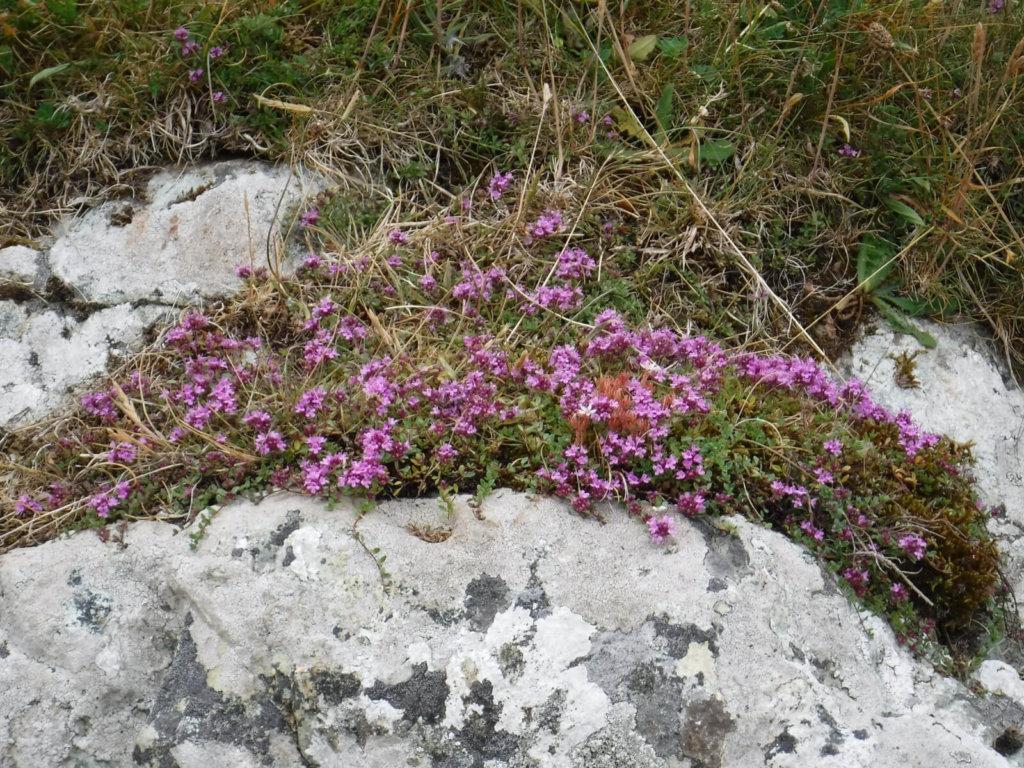Wild Thyme Wildflower