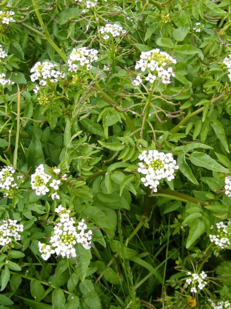 Watercress Wildflower