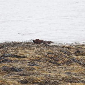 Otters on the Isle of Mull